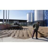 内蒙古小麦晾晒