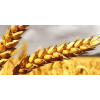 采购加麦,DNS小麦,APH、PH小麦